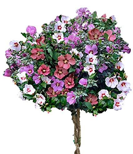 Amazoncom Rose Of Sharon 3 N 1 Hardy Hibiscus Althea Red White