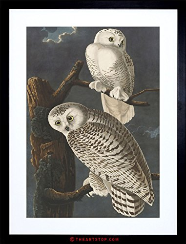 PAINTING BIRD AUDUBON SNOWY OWL FRAMED PRINT (Snowy Owl Photo)