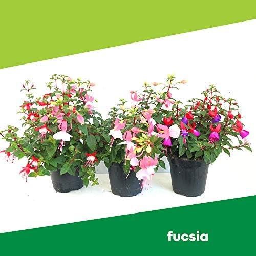 Fucsia (6 plantas) – Flores no comestibles – Empresa agrícola Carmazzi: Amazon.es: Jardín