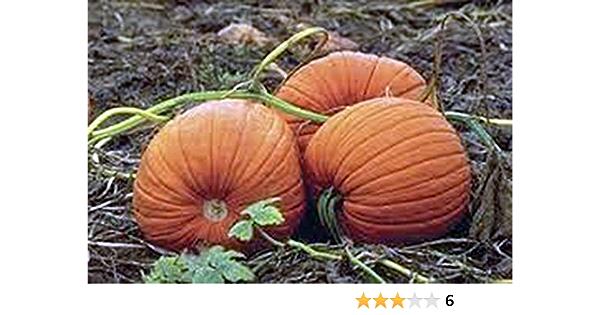 seeds Pumpkin mammoth gold 15 seeds-seeds-graines-semi