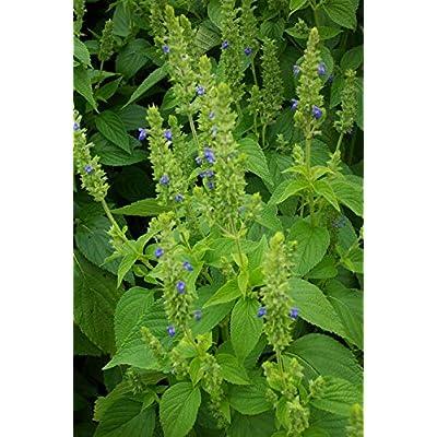 1/4 LB or 125k Seeds Chia Seeds, Herb, Salvia hispanica, Non-GMO : Garden & Outdoor