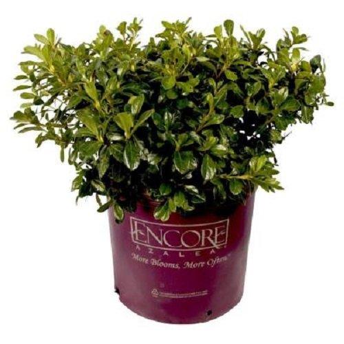 Autumn Embers Encore Azalea - Live Plant - Full gallon Pot