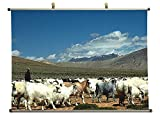 Blue sheep of Himalayas - Canvas Wall Scroll Poster (24x16 inches)