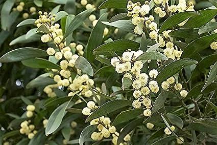 Amazoncom 20 Australian Blackwood Tree Black Acacia Melanoxylon