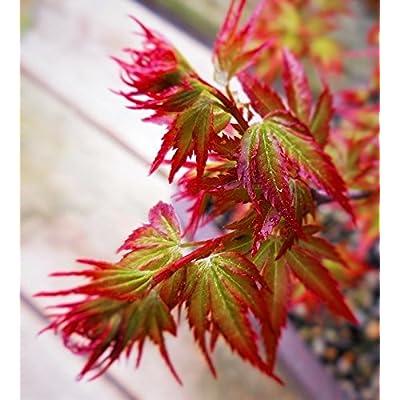 Murasaki Kiyohime Japanese Maple 2 - Year Live Plant : Tree Plants : Garden & Outdoor