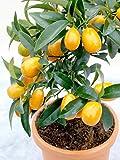 35 Seeds Kumquat Balcony Patio Potted Fruit Tree Plant