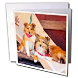 3dRose Greeting Cards, Shetland Sheepdogs on a Buckboard, 6 x 6 Inches, Pack of 12 (gc_209140_2)