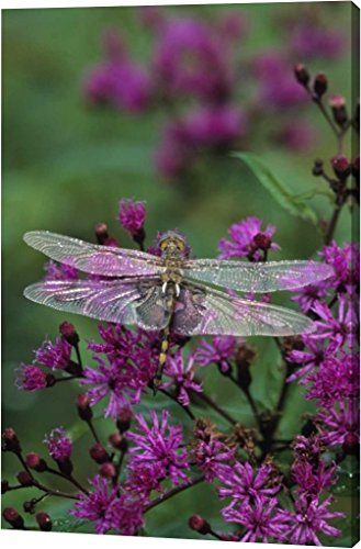 Dragonfly Canvas (Dragonfly on Joe-Pye weed by Nancy Rotenberg - 12