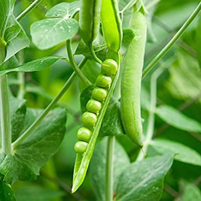 Lincoln Pea Garden Seeds - Non-GMO, Heirloom Vegetable Gardening & Microgreens Pea Shoots Seeds