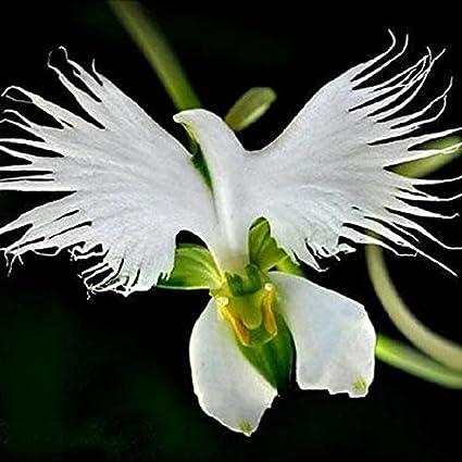Amazon 200pcs japanese egret flowers seeds white egret orchid 200pcs japanese egret flowers seeds white egret orchid seeds radiata rare white orchid by orchid se mightylinksfo