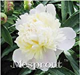 New Chinese White Herbaceous Peony 10+ Seeds - Paeonia lactiflora