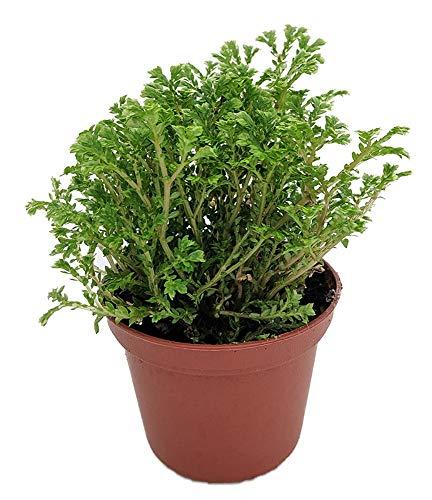 Upright Club Moss - Selaginella - Exotic Easy -Houseplant/Terrarium/Fairy Garden