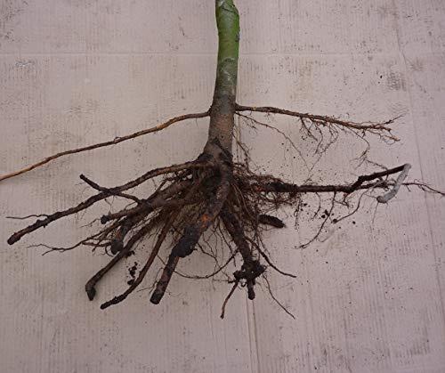 Dülmener Rosenapfel historisch Apfelbaum Buschbaum 150-170 cm wurzelnackt M7
