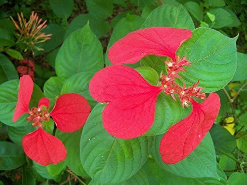 2 Red Summer Poinsettia Tropical Dogwood Mussaenda erythrophylla Plant 2.5