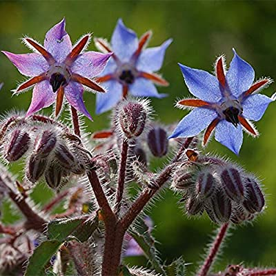 hfjeigbeujfg Garden Seeds, 1300Pcs Borage Seeds Vegetable Plant Home Garden Balcony Windowsill Herb Bonsai Decor Borage Seeds : Garden & Outdoor