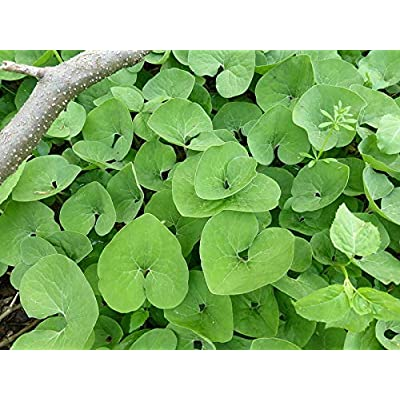 5 Wild Ginger Asarum Canadense Canadian Heart Snakeroot Flower Herb Seeds for Planting #SFB : Garden & Outdoor