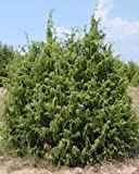Tree Seeds Juniperus Communis Common Juniper Trees - 50 Seeds