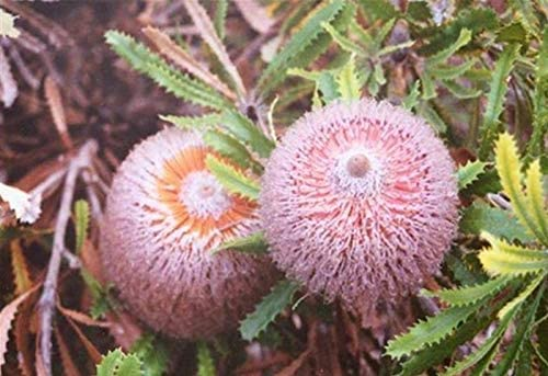 Possum Banksia Seed Evergreen Tree Drought//Salt Tolerant Sandy Soil Winter Rains
