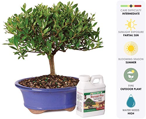 Brussel's Live Gardenia Outdoor Bonsai Tree - 5 Years Old; 8