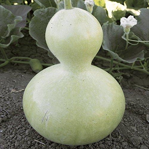 Everwilde Farms - 25 Birdhouse Bottle Gourd Seeds - Gold Vault Jumbo Seed - Seeds Gourd