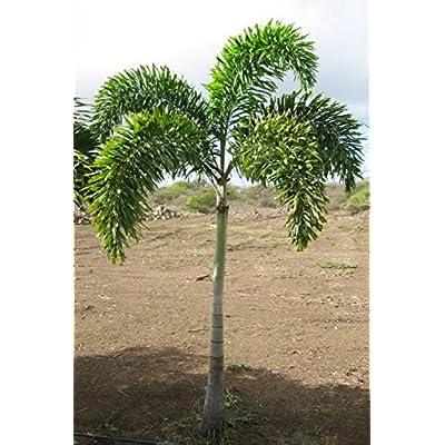 5 Foxtail Palm seeds, ( Wodyetia bifurcata ) : Garden & Outdoor