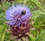 "Cardoon Artichoke Thistle ""Cynara"" 35 Seeds"