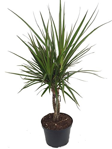 Cheap Braided Madagascar Dragon Tree – Dracaena marginata – 6″ Pot – Easy to Grow