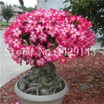 100% True Desert Rose Bonsai Ornamental Plants Balcony Bonsai Potted Flowers Drawf Adenium Obesum Bonsai -1 Particles/lot - (Color: 24): Garden & Outdoor