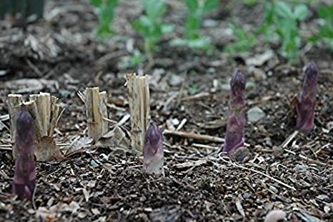 Pack x3 Asparagus Green Gijnlim WPC.Prins Vegetable Garden Bulbs//Root