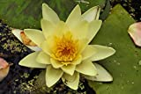 Home Comforts Acrylic Face Mounted Prints Water Lily Pond Plant Nuphar Lutea Aquatic Plant Print 14 x 11. Worry Free Wall Installation - Shadow Mount is Included.