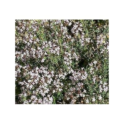 1, 000 Seeds Thyme French : Garden & Outdoor