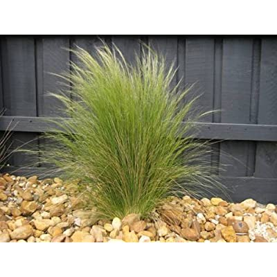 3 Mexican Feather Grass, Starter Plant in 3 Four Inch Cups : Garden & Outdoor