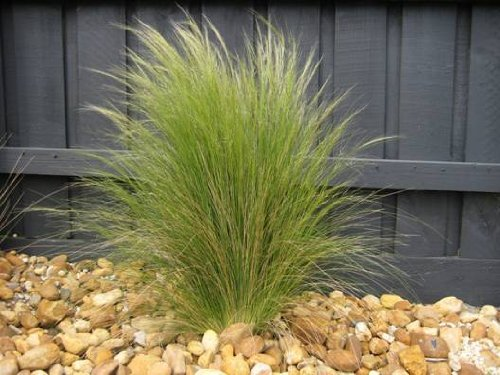 Mexican Feather Grass - 3 Mexican Feather Grass, Starter Plant in 3 Four Inch Cups