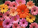 Gerbera Daisy Seeds Giant Hybrid Mix