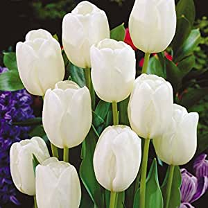 Tulipa White Dream - Tulip White Dream - 5 / Tulipa White Dream - Tulip White Dream - 5 bulbos
