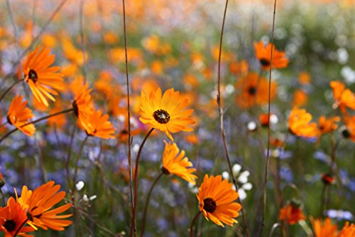 Nature's Seed African Daisy Seeds (1 Pack)