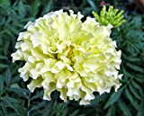 Snowdrift Marigold 40 Seeds - White - Blooms all Summer