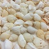 PEPPERLONELY White Nassa Arcularis Sea Shells, 8 OZ Approx. 130+PC Shells, 3/4 Inch ~ 1-1/4 Inch