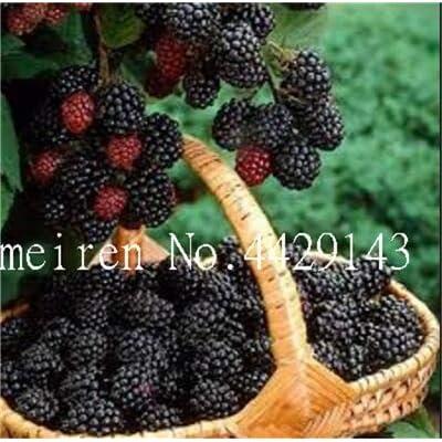 Bonsai 1000 Pcs/Pack Rare Raspberry Mixed Color Fruit Bush Bonsai for Easy to Grow Bonsai Home