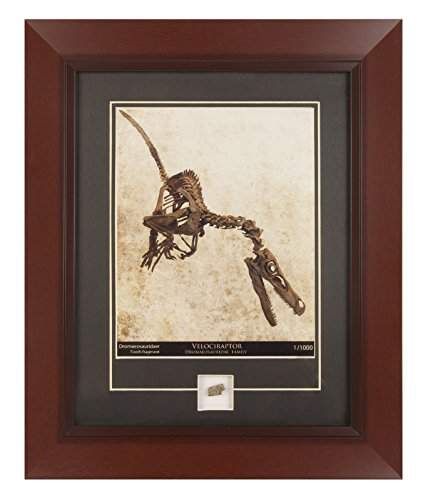 CENTURY CONCEPT Velociraptor Skeleton Historic Framed Print and Relic Wall Decor for Collectors | Includes a Genuine Dinosaur Fossil Tooth and Certificate of Authenticity