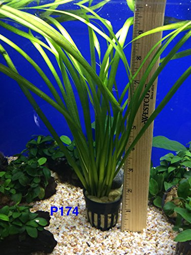 Exotic Live Aquatic Plant For Fresh Water Aquarium Vallisneria spiralis Potted P174 By Jayco BUY 2 GET 1 FREE by Jayco (Image #1)