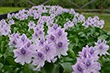 Water Hyacinths Floating Water Garden Plants (5 live plants)