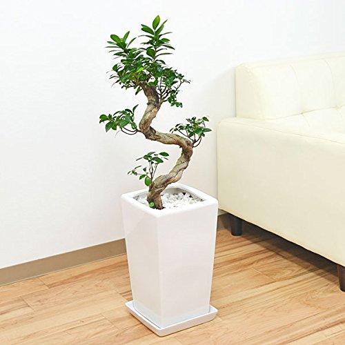 ガジュマル(多幸の木) 曲がり仕立て スクエア陶器鉢植え B0152DY2TY