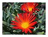 Malephora crocea VAR crocea - Coppery Mesemb - 10 Seeds