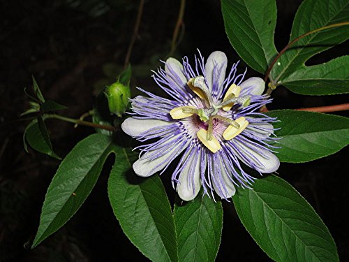 (Passion Flower, Purple Passion Flower, Maypop, Apricot Vine, 11 Seeds!)