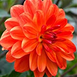Orange Dwarf Dahlia Gallery Valentin - Miniature Dahlia 3 Large Tubers Bloom This Summer - Perfect for Containers | Ships from Easy to Grow TM
