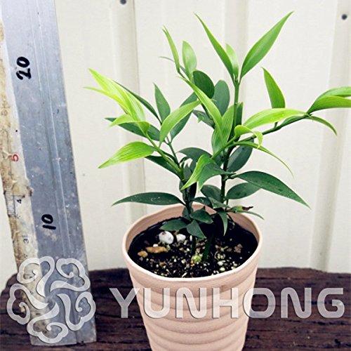 - Body Pillow Sexy - 20pcs Podocarpus Bonsai Plant Cypress The Budding Rate 90% Ornamental (Tree Seed) - by Abuldahi
