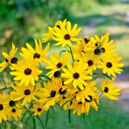 100+Swamp Sunflower Seeds Clumping Perennial Native Wildflower Salt Tolerant (Flower That Looks Like A Black Eyed Susan)