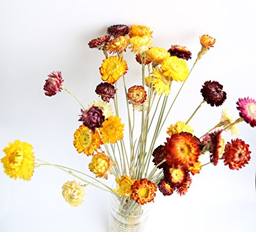 Greencherry natural dried flower bracteantha bacteata for Natural multi colored roses
