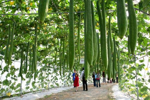 - 20pcs Fresh Real Super Long LUFFA Sponge Gourd Luffa Cylindrica semillas Organic Vegetable semillas
